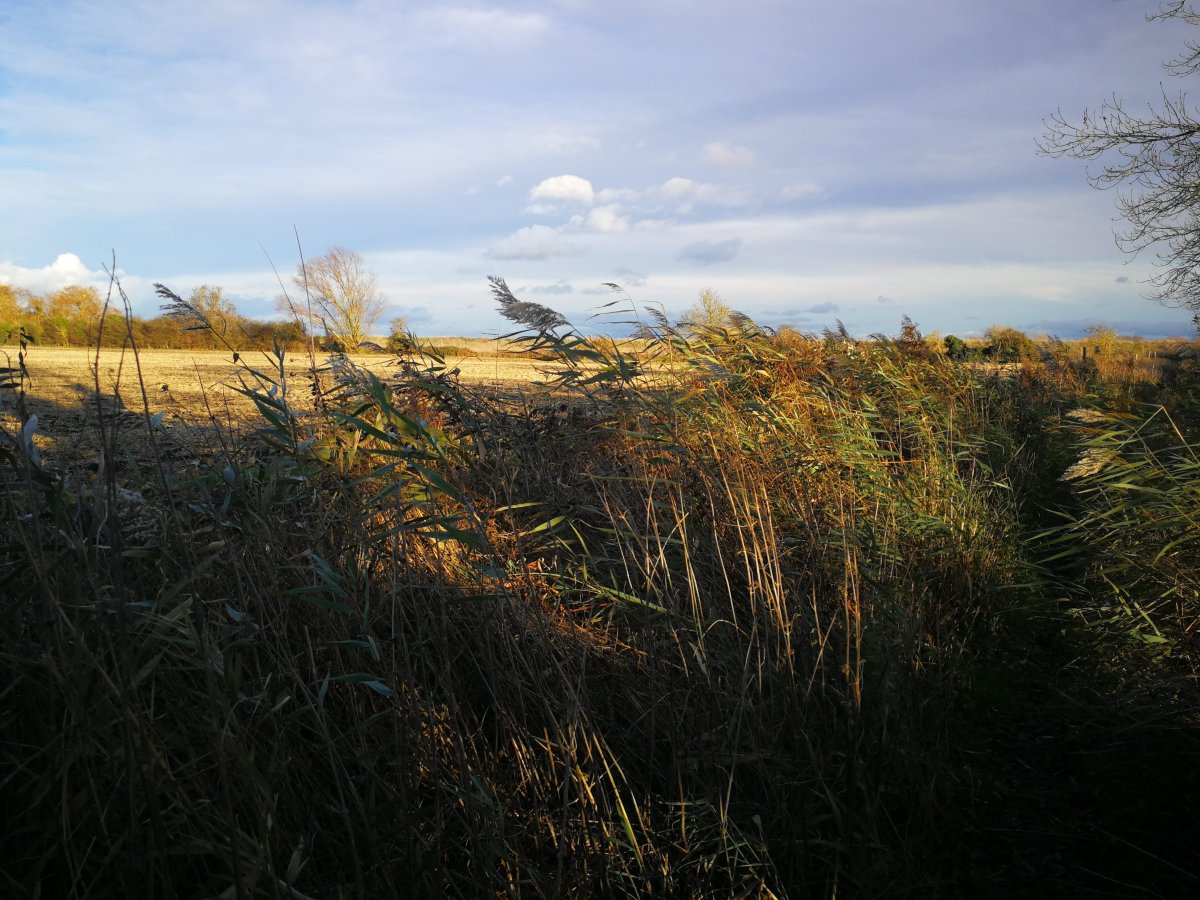 common fenland reeds
