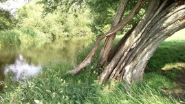 Willow, River Stour